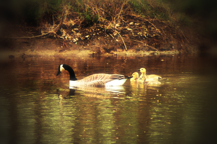 Mother Goose and Chicks
